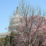 Capitol und Cherry Blossoms in Washington D.C., USA